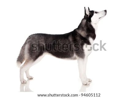 portrait of siberian husky dog