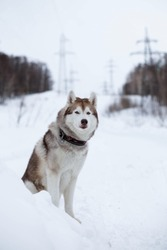 Portrait of siberian husky dog sitting on the snow in winter forest on the slope and observing mountais. Husky topdog looks like a wolf