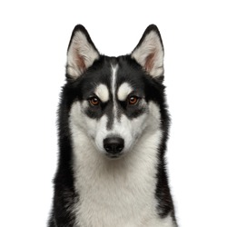 Portrait of Siberian Husky Dog with funny eyebrows Gazing on Isolated White Background, Front view