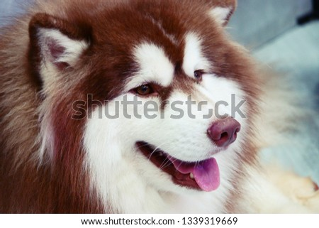Young Funny White Husky Puppy Dog With Blue Eyes  Close Up
