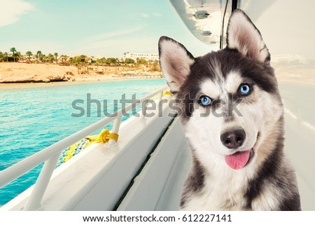 portrait of siberian husky on...