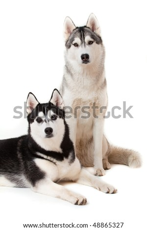 portrait of siberian husky on white background