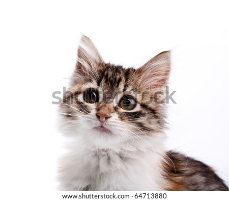 Portrait of siberian kitten