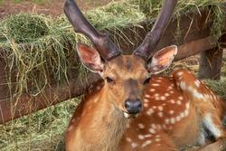 Portrait of sika deer. Spotted deer resting near wooder feeder with hay.
