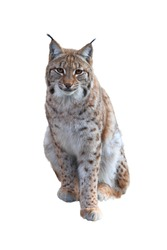 Portrait of sitting Eurasian lynx (Lynx lynx) isolated on white background. Beast of prey in winter season. Wild big cat from Bavarian forest. Wildlife scene from nature. Habitat Europe, Asia.