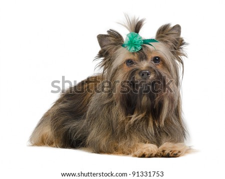 Portrait of sitting Yorkshire Terrier with green bow