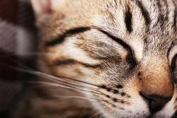 Portrait of sleeping cat, closeup