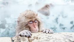Portrait of sleeping Snow monkey sitting in a hot spring, Japan.