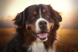 portrait of smiling bernese mountain dog in sunset