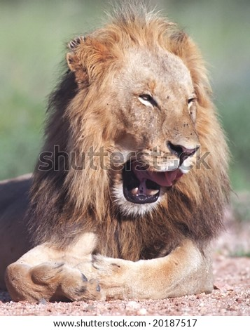 Portrait of smiling lion in Kruger park South Africa