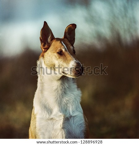 portrait of smooth collie. film ...