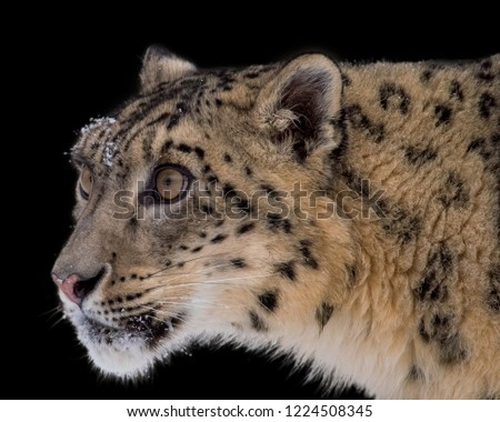 Stock Photo Portrait of Snow Leopard on Isolated Black Background