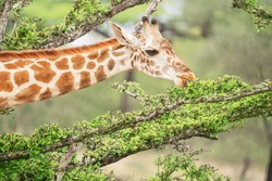 Portrait of south African giraffe mammal the tallest living terrestrial animal with extremely long neck and distinctive coat patterns peacefully eating green leaves from tree branches. Horizontal