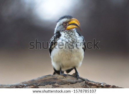 Portrait of southern yellow-billed hornbill