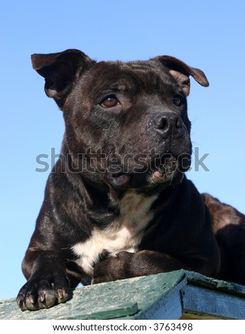 portrait of staffordshire bull terrier