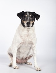Portrait of stray dog in photo studio on white background with copy space. International Day of Homeless Animals