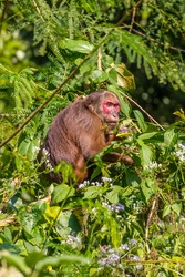 Portrait of Stump-tailed macaque(Macaca arctoides)  at Kengkracharn National park,Thailand