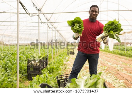 Portrait of successful African American farmer standing at farm greenhouse with ripe Swiss chard in hands during harvest