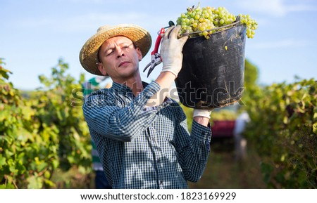 Portrait of successful winegrower carrying bucket full of ripe white grapes in sunny vineyard. Harvest time. Foto stock ©