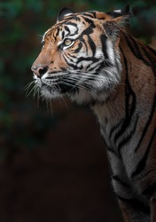 Portrait of Sumatran tiger in zoo.