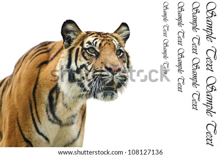Portrait of Sumatran Tiger Panthera Tigris Sumatrae big cat in captivity looking into blank white copyspace