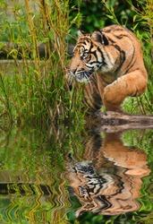 Portrait of Sumatran Tiger Panthera Tigris Sumatrae big cat in captivity reflected in calm water