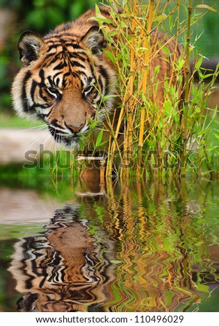 Portrait of Sumatran Tiger Panthera Tigris Sumatrae big cat in captivity reflected in calm water