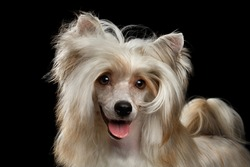 Portrait of Sweet Chinese Crested Dog on Isolated Black Background, front view