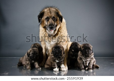 Portrait of sweet 1,5 month old kavkazskaya ovcharka with mother  ( Caucasian shepherd dog puppy )