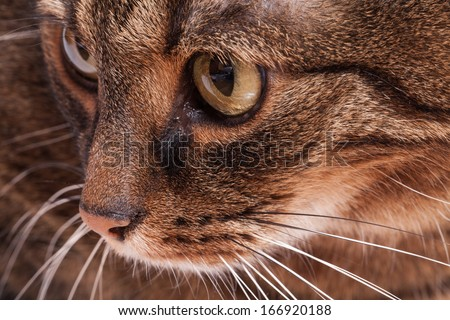 Portrait of tabby adult cat. White background