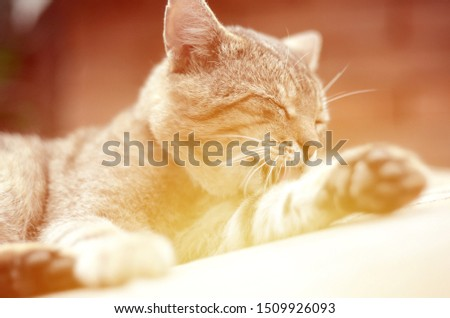 Portrait of tabby cat sitting and licking his hair outdoors and lies on brown sofa