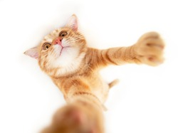 Portrait of tabby ginger cat makes selfie over white background. Adorable pet posing like he takes photos with smart phone. Cute domestic animal. Red cat photographs himself, natural light