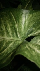 portrait of Taro leaf. contrasting coloring art effects. can be used for phone wallpaper or etc.