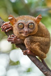 Portrait of Tarsier monkey (Tarsius Syrichta) on the tree in natural jungle environment, Philippines. Bohol island.