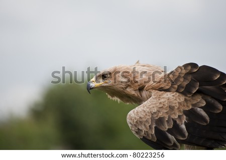 Portrait of tawny eagle searching for prey