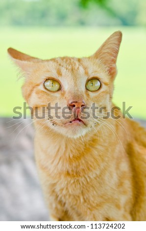 Portrait of Thai cat, Thailand.