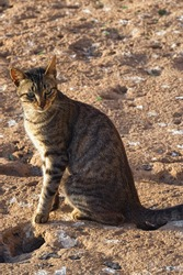 Portrait of the adorable homeless cat on the volcanic shore of the Atlantic Ocean in the area of Essaouira in Morocco in the low tide time.