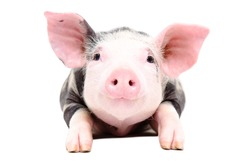 Portrait of the adorable little pig isolated on white background