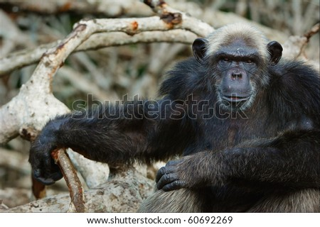 Portrait of the adult male of a chimpanzee at a short distance.