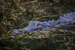 Portrait of the Aligator in Everglades National Park, Florida, US. Aligators, baby and adult ones in wild, close to the people. On the grass or in the water. Close encounter.