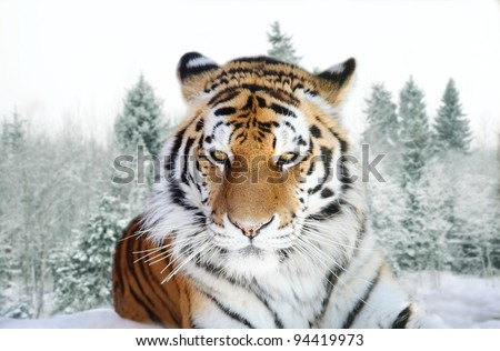 Portrait of the Amur tiger on a background of a snow taiga