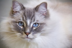 Portrait of the beautiful blue eyes ragdoll cat