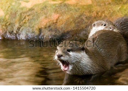 portrait of the beautiful shouting otter getting into water in summer day