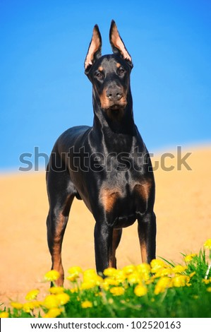 Portrait of the black doberman pinscher