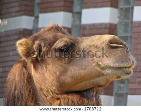 portrait of the camel