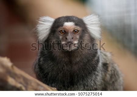 Portrait of the common marmoset New World monkey