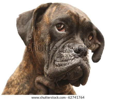 Portrait of the dog of the sort boxer