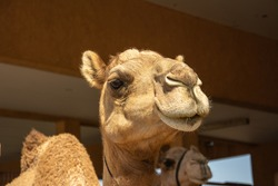 Portrait of the dromedary, also called the Somali camel or Arabian camel taken in the United Arab Emirates