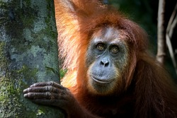Portrait of the famous and endangered sumatran orangutan. One of the most famous wild animals from Indonesia.