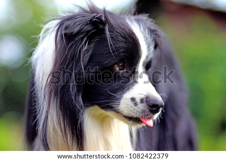 Portrait of the head black and white dog. The breed is Border collie. Background is green. He has open mouth and you can see his tongue. #1082422379